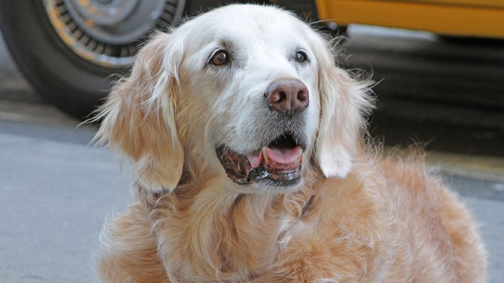 The Last Surviving 9/11 Search and Rescue Dog Has Died At 16: The brave search and rescue dog Bretagne helped save lies on 9/11. She will be missed.