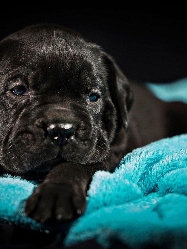 Small Cane Corso Puppy Pets Black Cane Corso Puppy With Blue