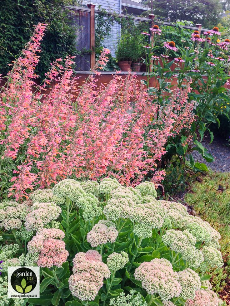 This waterwise perennial planting combination for a full sun garden provides long-lasting summer-into-fall blooms, fragrance and is a magnet for hummingbirds, bees and pollinators.   Sedum x 'Autumn Joy' (stonecrop), Agastache 'Apricot Sunrise' (giant hyssop) and Echinacea purpurea 'Merlot'.  The harmonious color scheme, diverse bloom shapes and textures make for a pleasing combination. Many more planting combination recipes can be found on the www.egardengo.com/blog