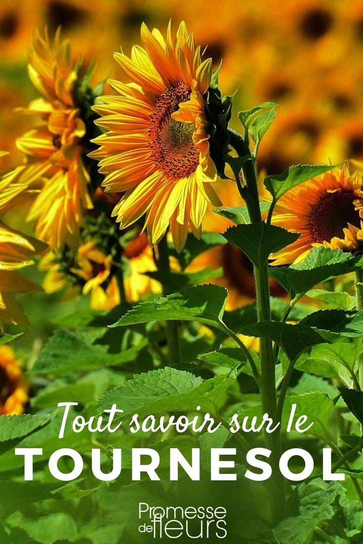 Graines De Fleurs Qui Poussent Très Vite tournesol : semis, plantation, entretien | tournesols