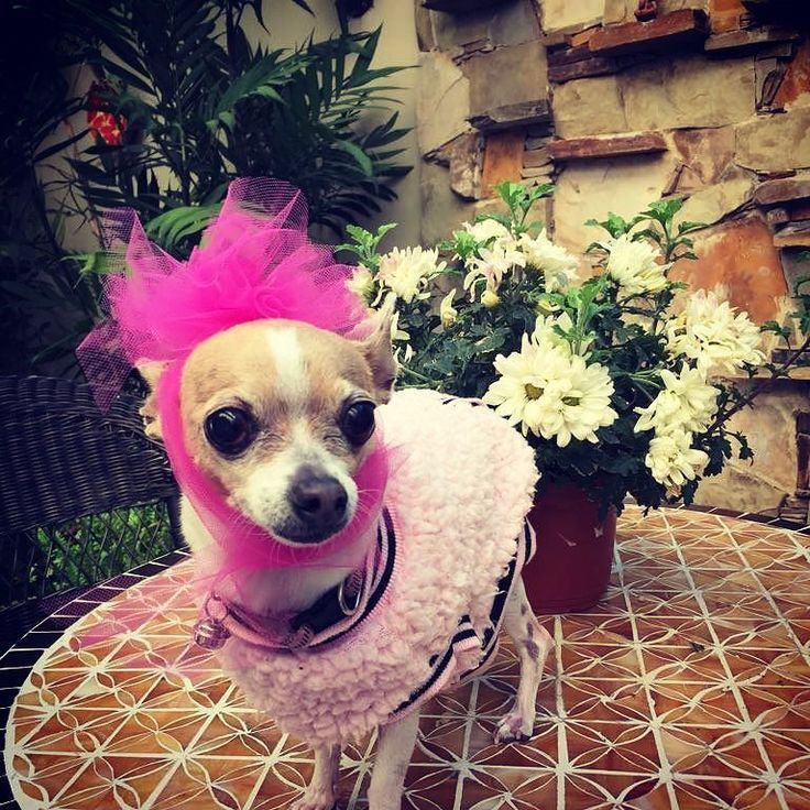 Lola sends her best wishes all the way from Mexico for everyone in Sweden to have a great midsummer  When I moved to Sweden I missed her so much therefore I started walking dogs and that's how Happy Walker was born.  She has been my partner in crime for 13 years now !! My little peanut
