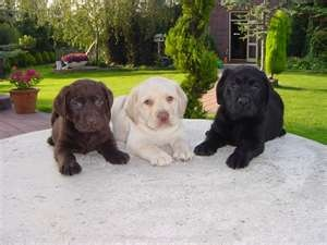 Labs!: Labrador Retriever, Labrador, Labrador Puppys, Dogs, Pet, Labs Puppys, Lab Puppies, Labrador Puppies, Animal