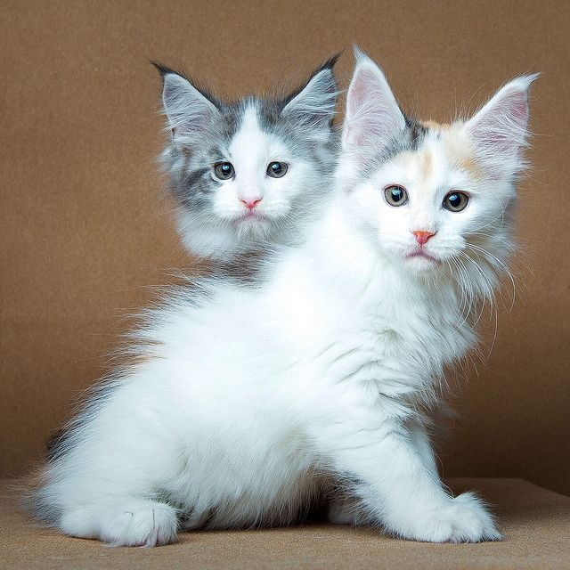 MAINE COON KITTENS!