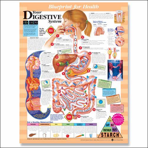 digestive system chart  edtech