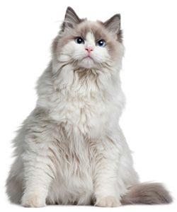 """Wel eens van een """"ragdoll"""" gehoord? Dat is een kattenras, dat bekend staat om zijn vriendelijke en rustige karakter. Zijn naam ,dat lappenpop betekent, heeft hij te danken aan zijn ontspannen houding wanneer je hem oppakt. Hij hangt dan als een 'lappenpop' in je armen. Echt een dier om GEKop te zijn! www.GEKop.com"""