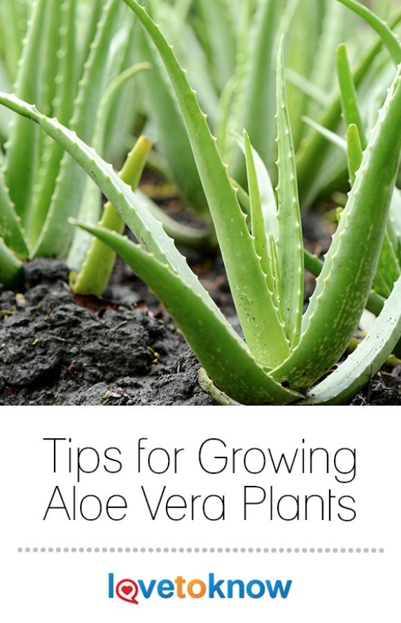 aloe vera plants aloe barbadensis are perennial plants in the lily family known for their. Black Bedroom Furniture Sets. Home Design Ideas
