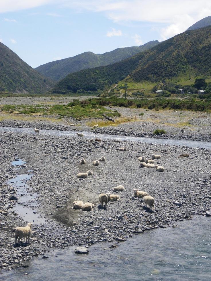 Sheep chillaxin.