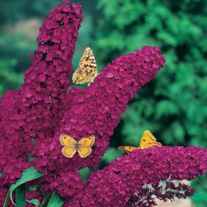 Буддлея Давида роял ред (Royal Red) Кустарник буддлея немного похож на махровую сирень, особенно его шикарные соцветия, состоящие из мелких цветочков, собранных в метелку. Длина соцветий, в зависимости от сорта буддлеи, варьируется от 20 до 45 сантиметров. В местности с холодными зимами он вырастает до 1-2 метров. Слишком выраженного аромата цветок буддлеи не имеет, но является отличным медоносом.