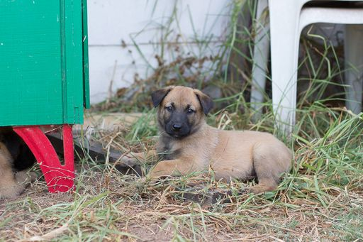 Litter of 5 Belgian Malinois puppies for sale in IMPERIAL BEACH, CA. ADN-43200 on PuppyFinder.com Gender: Female. Age: 6 Weeks Old