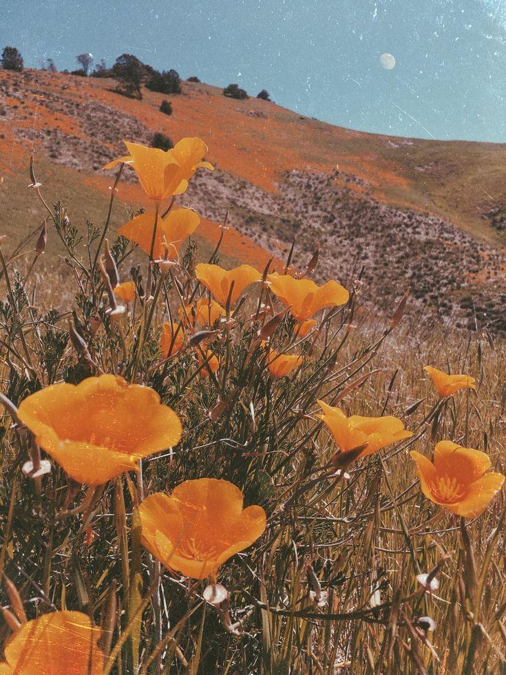 Poppy Fields Forever Flower Aesthetic Aesthetic