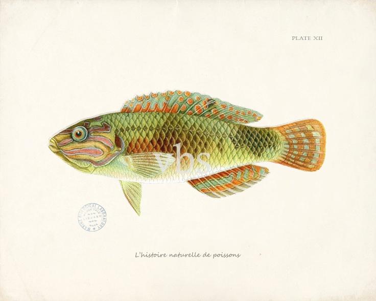 Fish Illustration Natural History Wall Decor Art Print - Plate XII 10 x 8. $15.00, via Etsy.