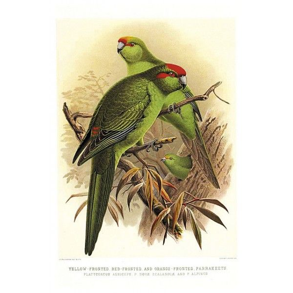The history of birds of New Zealand, 1888 - Queer postcards