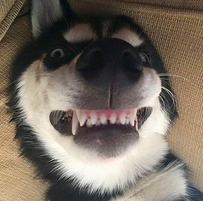 27 ภาพท ย นย นว าไซบ เร ยนฮ สก เป นหน งในหมาท แสบซนและต งต องท ส ด Dog Vs Cat ฮ สก ส ตว สต ฟฟ หมา