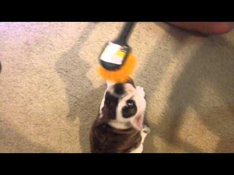 This English Bulldog Puppy Is Obsessed With a Brush!
