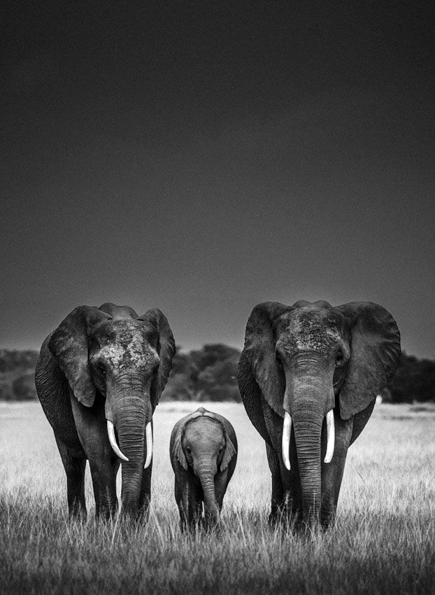LAURENT BAHEUX, animal, photography, black and white, elephant, wild,