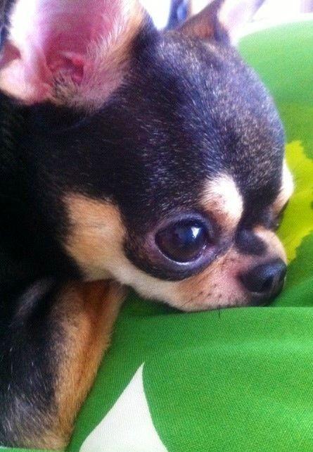 Cute Chihuahua via www.Facebook.com/CuteChihuahuaFans