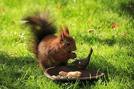 Eichhörnchen, Braun, Garten, Fressen