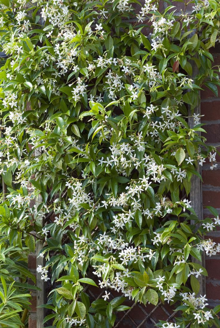 Fast Growing Vines - Star Jasmine <em>(Trachelospermum jasminoides)</em> Zones 8-10 - CountryLiving.com