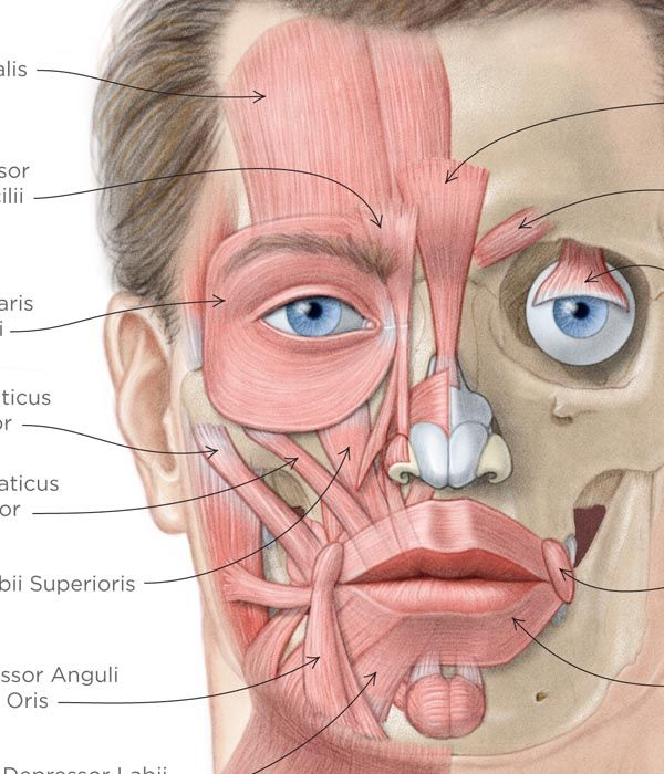 Anatomy of facial muscles