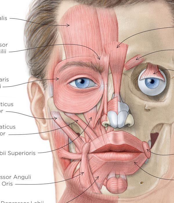 анатомия лица - Поиск в Google