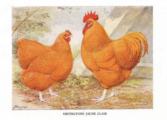 1915 poule et coq, illustration ancienne, race Orpingtons jaune clair, gravure dessin lithographie, décor campagnard, décor rustique