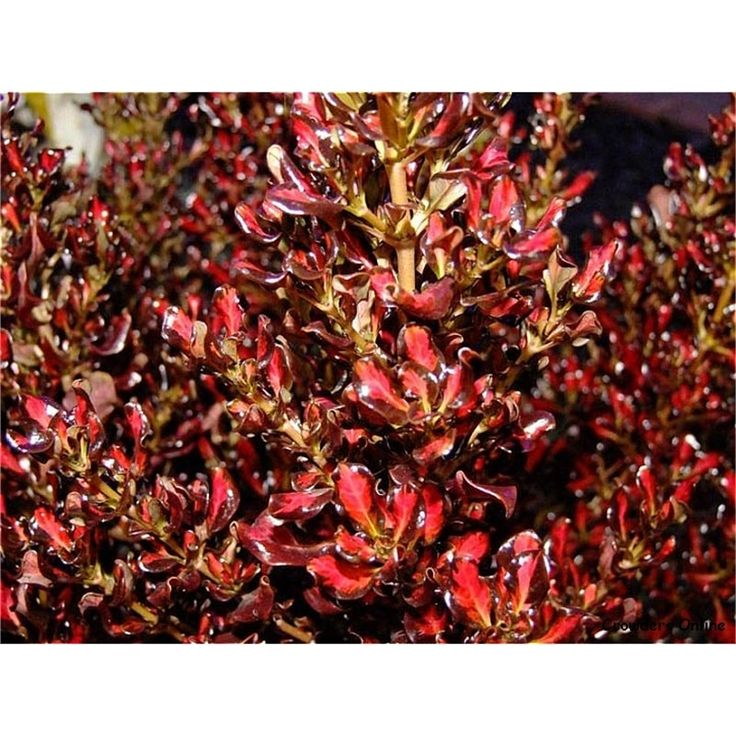 Coprosma 'Pacific Sunset' - tough evergreen shrub (1.5m high) with glossy wave-shaped foliage in shades of vivid red and chocolate brown