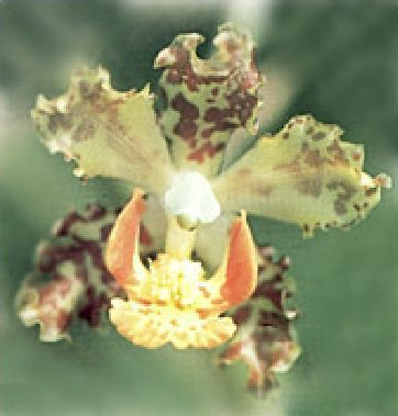 Cyrtopodium caiapoense