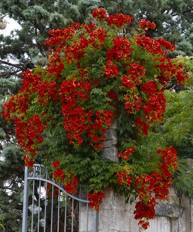 Take a look at this Scarlet Campsis Trumpet Vine - Set of Two by Cottage Farms Direct on #zulily today!