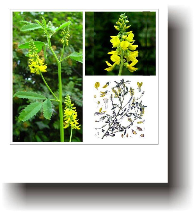 Plante medicinale – SULFINA