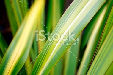 Harakeke Leaves (New Zealand Flax) Royalty Free Stock Photo