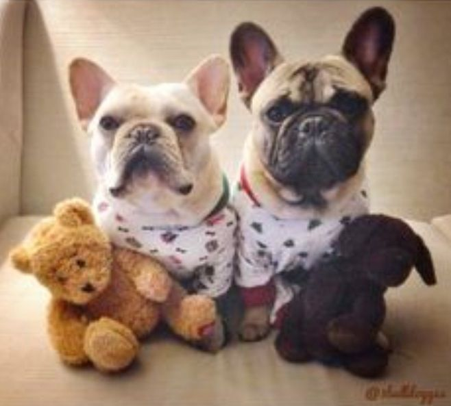 210 best french bulldogs images on pinterest | french bulldog