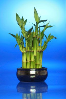 Apart from adding a fresh note to your interiors, a lucky bamboo plant is also believed to bring good luck. Here are some tips for growing them at home.