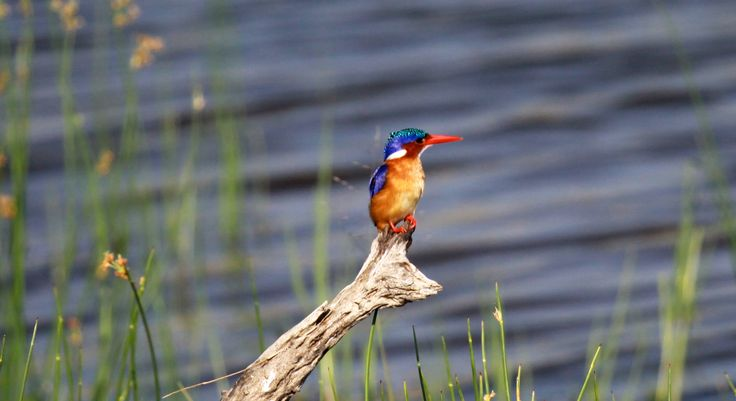 Malachite Kingfisher in the Pilanseberg, South Africa. Photo credit: Lynette O'Neill