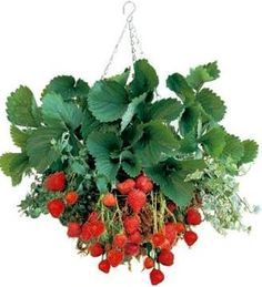 Strawberry plants can be planted in a hanging basket which keeps slugs, snails & rabbits from getting to the strawberries. Netting should be used to protect from birds. Tomato feed is perfect for strawberry plants in baskets, feeding every couple of weeks. Water frequently as baskets dry out quickly in summer.