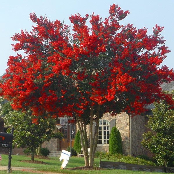 The Fastest Growing Crape Myrtle - - Long lasting red blooms - Highly drought tolerant - Resistant to mildew Just like its name suggests, the Red Rocket Crape Myrtle™ shoots up like a rocket, and gives you beautiful red flowers from early July to September. 100 days of blooms! Red Rocket Crape Myrtles can grow up to 5 feet...