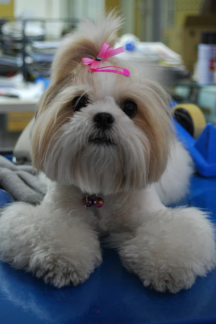 Colleague's Shih Tzu is just adorable. She's one of the most well-trained pups we've had around.