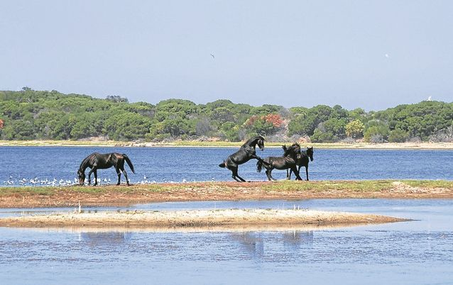 Kleinmond - wild horses on the lagoon.