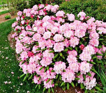 Common Name: Rhododendron  Hardiness Zone: 5-9 S / 5-9 W  Height: 3'  Exposure: Part Shade  Blooms In: May-June  Spacing: 3'  All thrive in full sun or partial shade (required in the South) and evenly moist, acid soil.