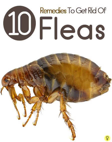 110 Best Images About Fleas Be Gone On Pinterest Apple