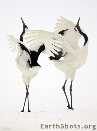 Dancing Japanese cranes by Simone Sbaraglia. Japanese cranes mating ritual.