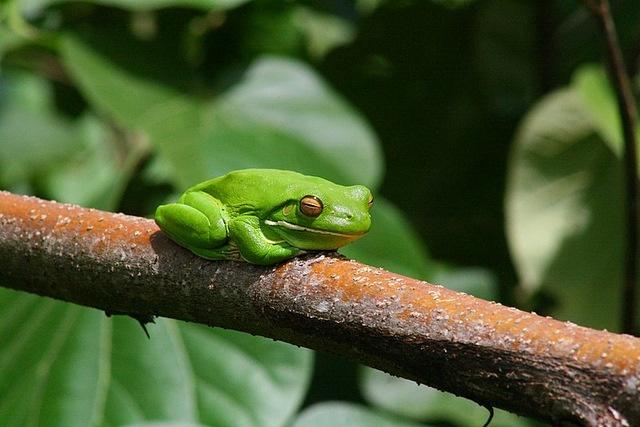 White Lip Tree Frog