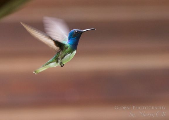 Taking Flight in Belize - hummingbirds are everywhere