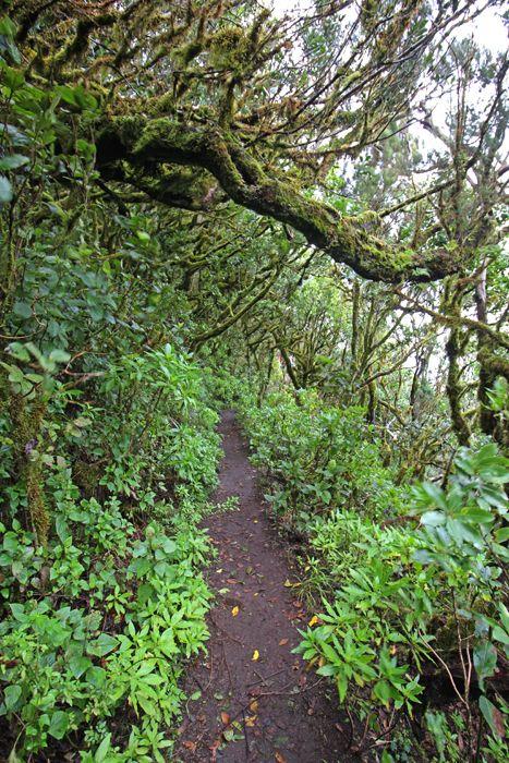 Wanderweg im Nebelwald auf La Gomera (El Cedro, Zedernwald), Kanarische Inseln