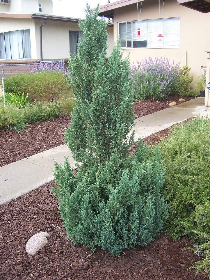 Blue Point Juniper Juniperus Chinensis Blue Point Is A