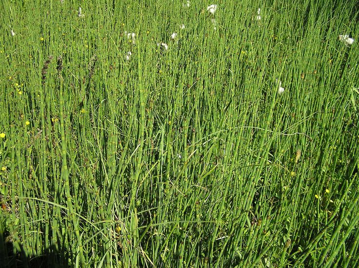 how to kill horsetail rush