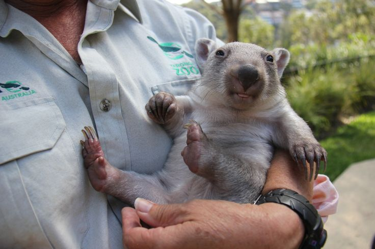 Remember when Chloe the #Wombat was this little?