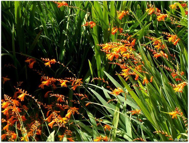 Una pianta di origine africana che si è ambientata perfettamente in Irlanda ... http://zibalbar-foto.overblog.com/2014/09/fiori-arancioni-selvatici-in-irlanda.html
