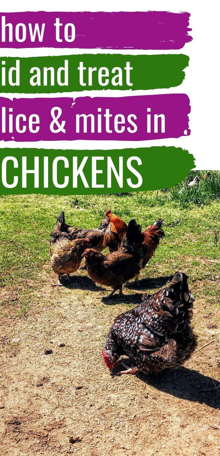 Chicken Mites Chicken Lice How To Identify Treat Mranimal Farm In 2020 Chickens Backyard Raising Backyard Chickens Mites On Chickens