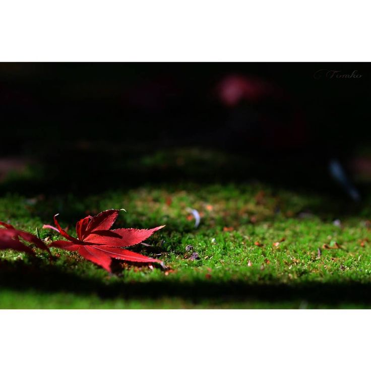 #鹿王院 落葉に秋の終わりを感じて… 今年の紅葉postもこれで終わり… 来年の見頃は何処に行こうかと 考えるだけで 既にワクワクしちゃってます #仏牙寺#紅葉#もみじ#写真#マクロ#マクロレンズ#嵐山#京都#ファインダー越しの私の世界 今秋は思う存分 紅葉にまみれました…余は満足ぢゃ💕 #rokuoin#butsugeji#butsugejitemple#temple#autumnfoliage#autumnleaves#macrolens#arashiyama#kyoto#japan#ig_japan