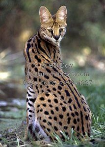 Serval Cat - I have always wanted one as a pet.  I have plenty of space (536 acres), but I don't think Texas would allow for it. Okidoki
